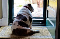 bulldog-waiting-at-the-door